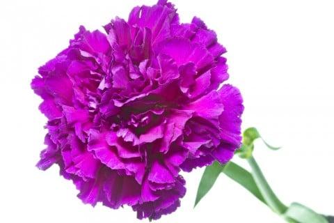 カーネーション 紫色