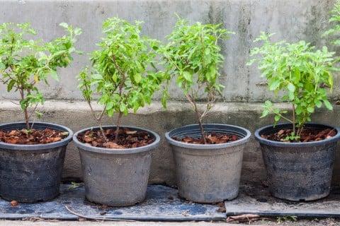 挿し木 鉢植え 苗