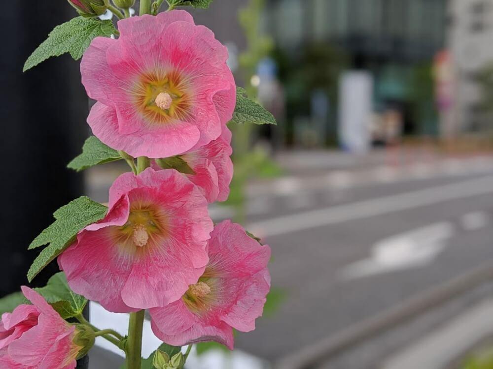 タチアオイ 立葵 花