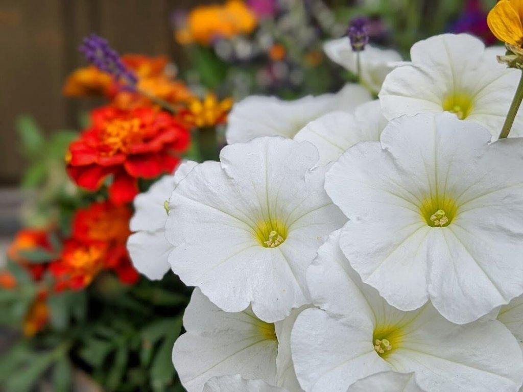 ペチュニア 花 白