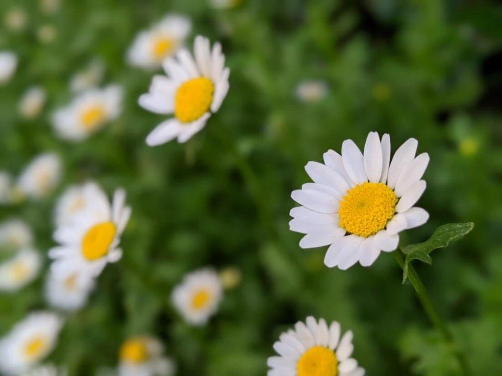 ノースポール 花