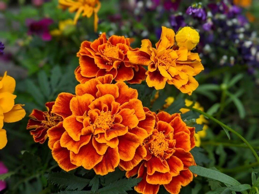 マリーゴールド 花