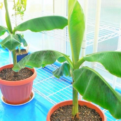 バナナ 苗木