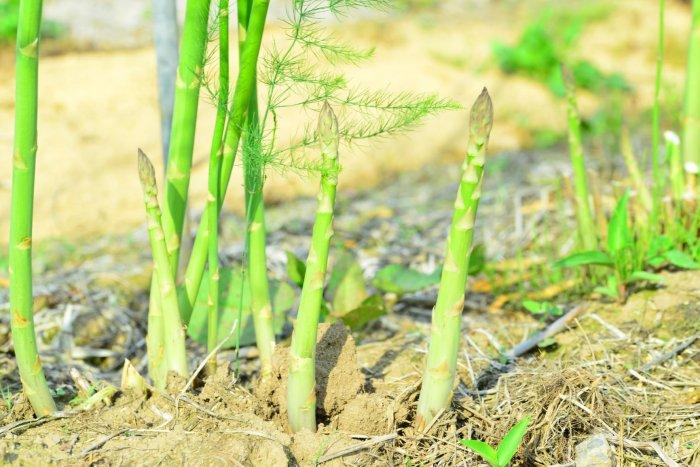 アスパラガス 栽培