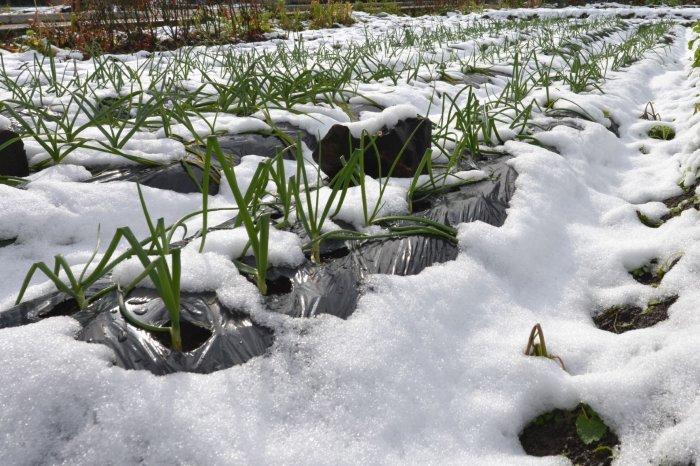 雪に埋もれたネギ
