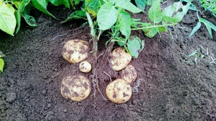 ジャガイモ 栽培
