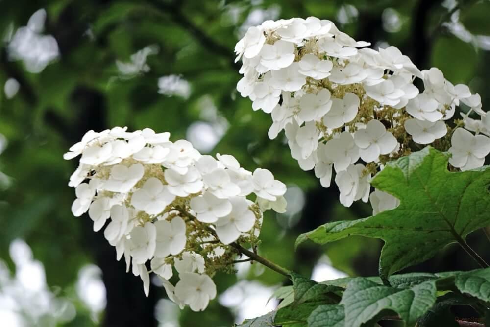 カシワバアジサイ 柏葉紫陽花