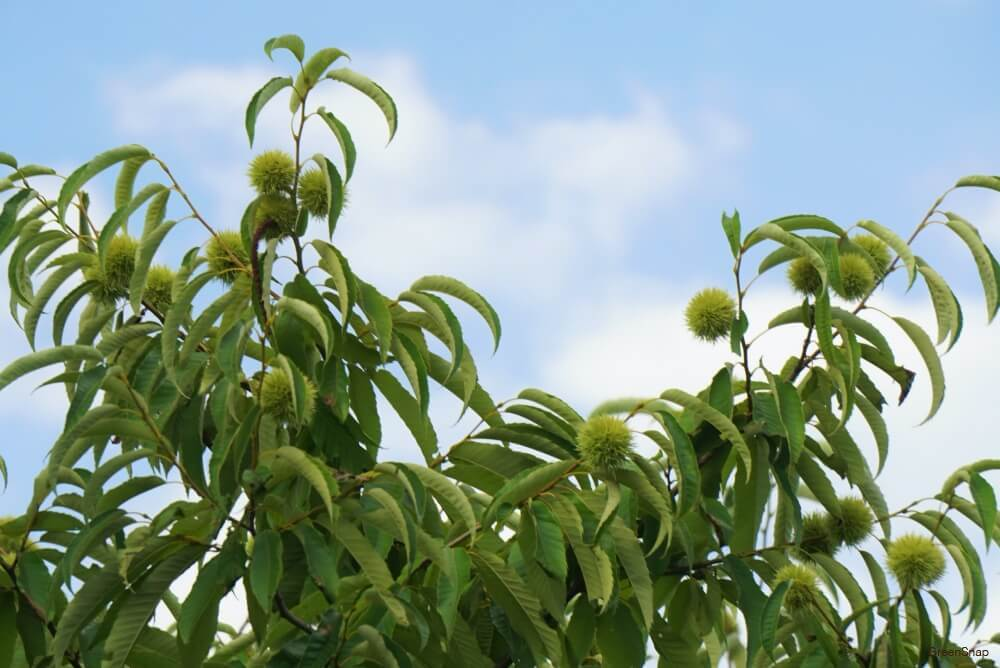 クリの木 栗の木