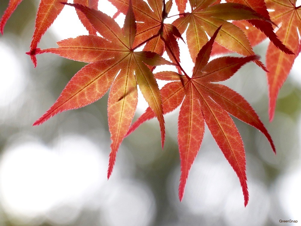 紅葉 モミジ 楓