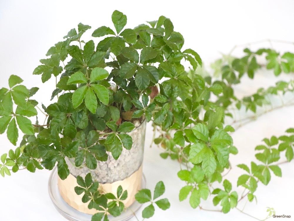 アマチャヅル 観葉植物