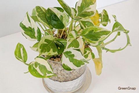 ポトス 観葉植物