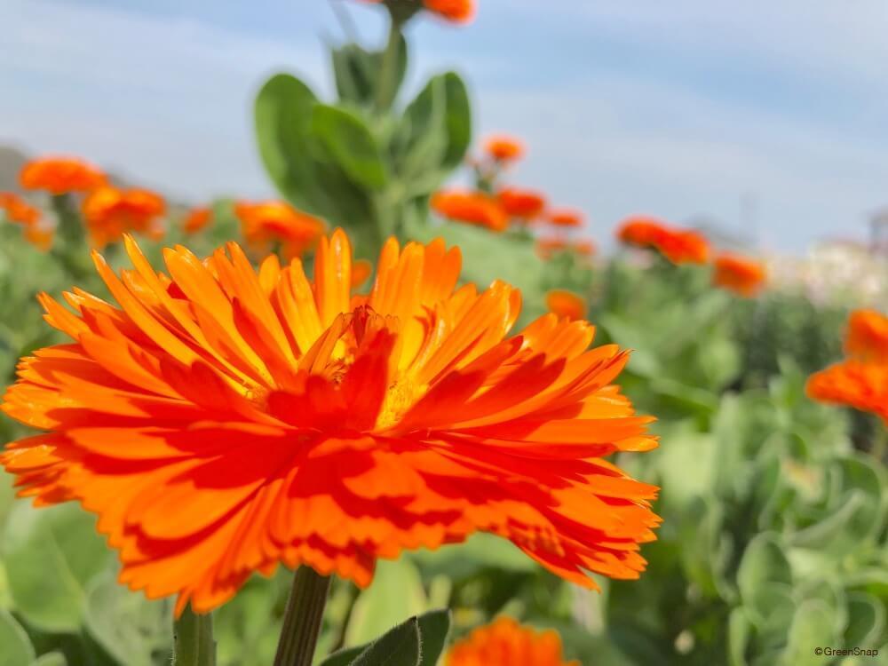 キンセンカ 金盞花 カレンデュラ 花
