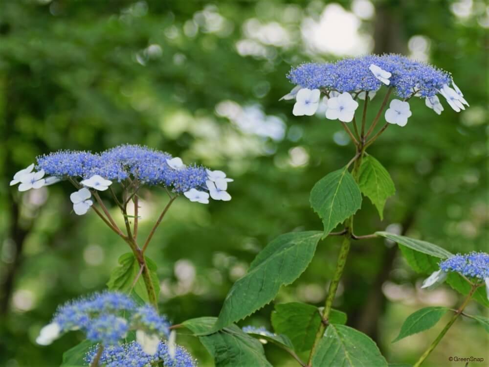 ヤマアジサイ 山紫陽花