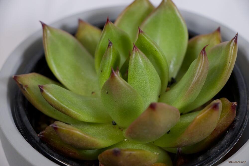 エケベリア・アメストロ 多肉植物
