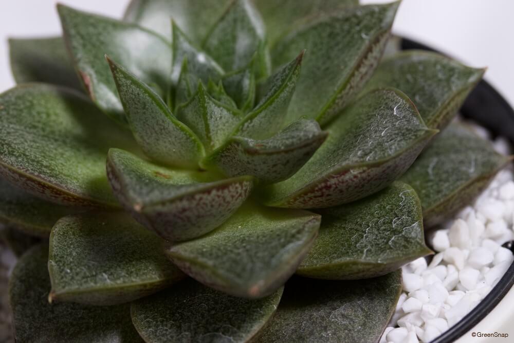 エケベリア 多肉植物
