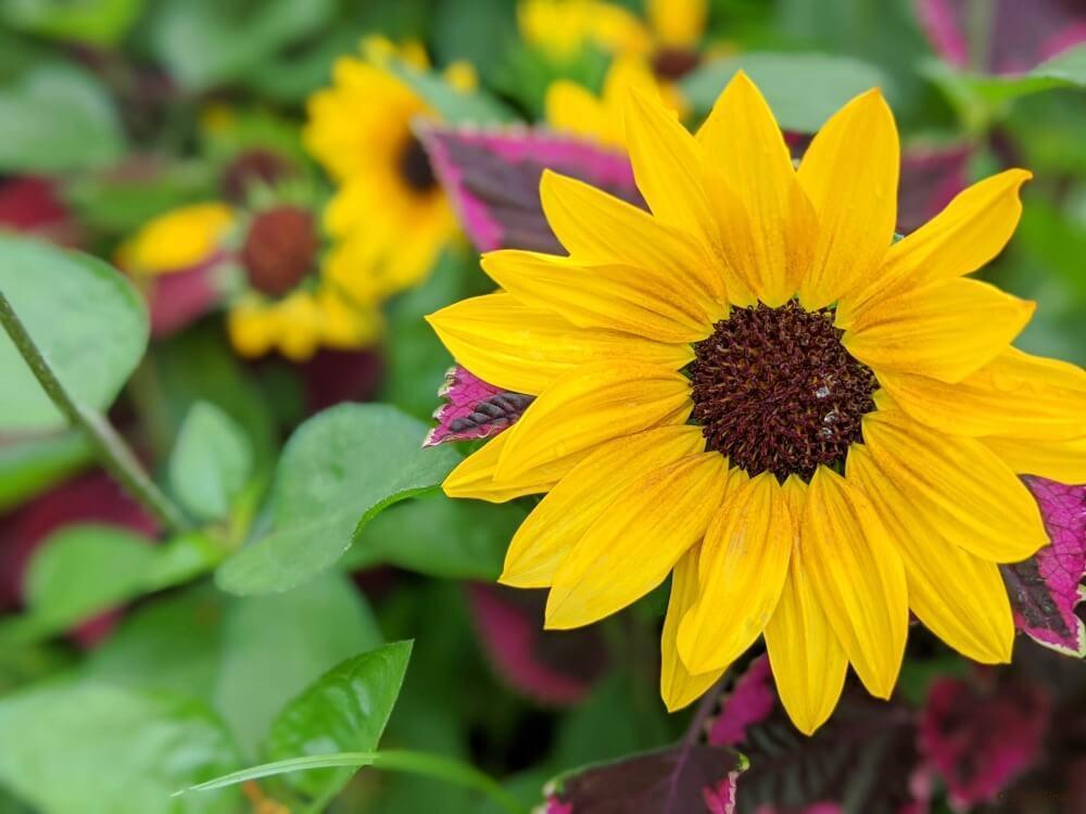 ヒマワリ ひまわり 向日葵