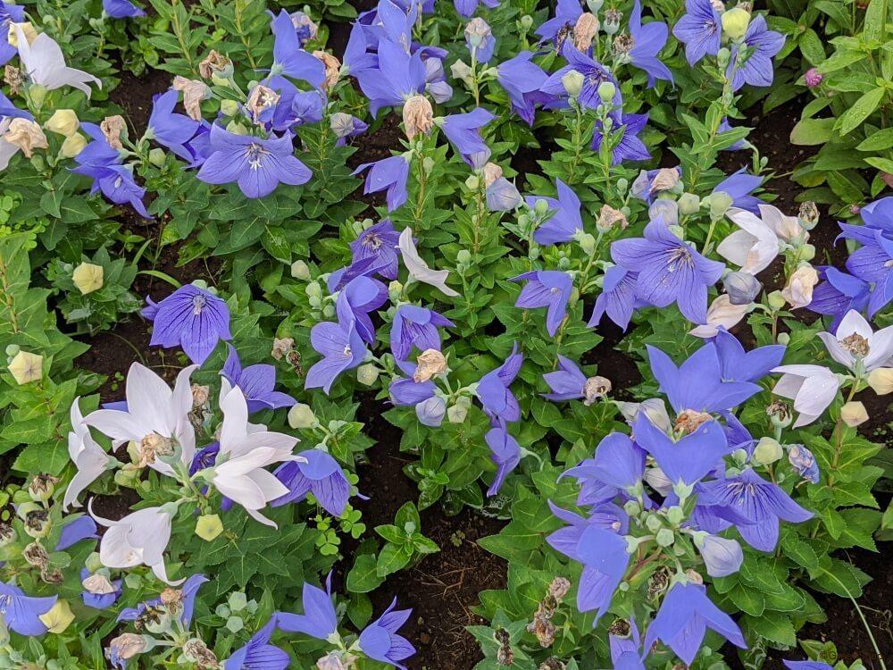 言葉 桔梗 の 花 【キキョウの花言葉】色で意味の違いは?実は切ない意味の花!?