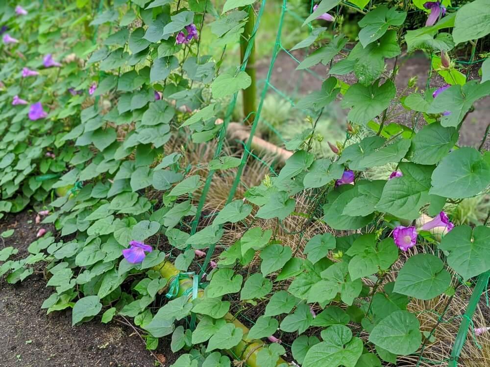 虫除け 朝顔 虫除けに!植物に使える酢で手作り。重曹などで無農薬!