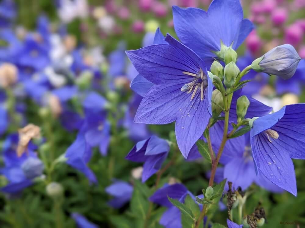 言葉 桔梗 の 花 桔梗は秋の花じゃない?桔梗の咲く季節や花言葉を紹介