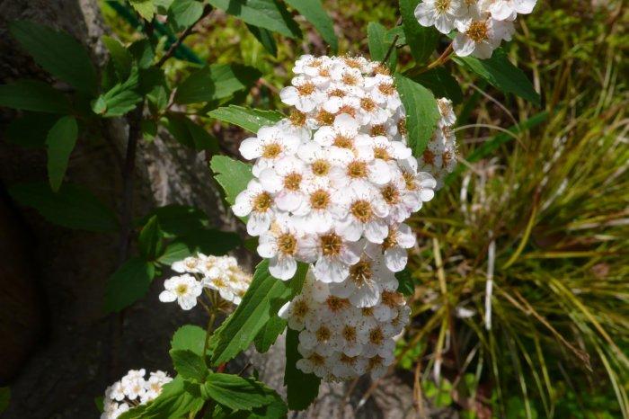 ピラカンサ 花