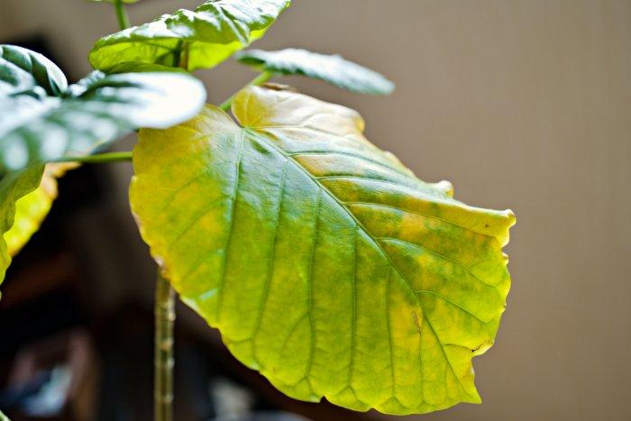 ウンベラータ 黄葉