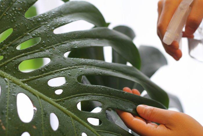観葉植物 葉水