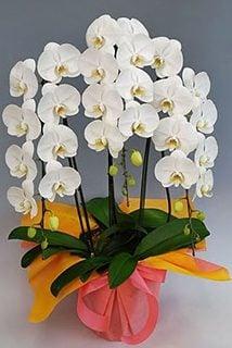要出典 胡蝶蘭 ホワイト 3本仕立て 大輪