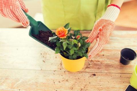 バラ 苗植え