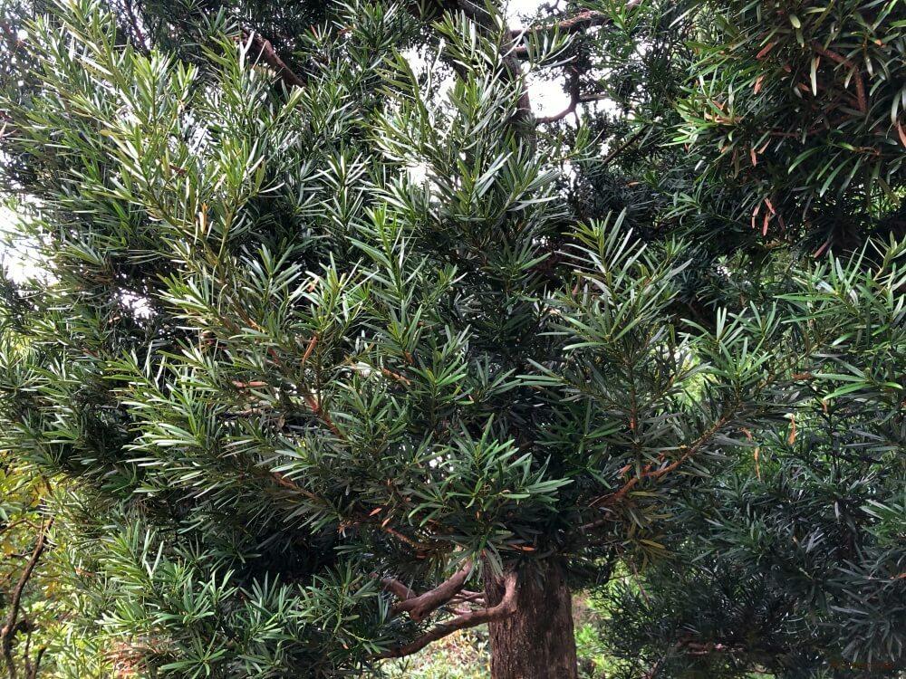 イヌマキ 槇の木
