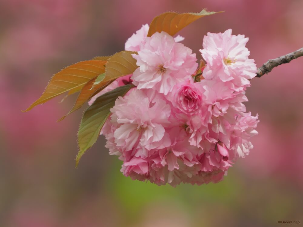 里桜 八重桜 サトザクラ ヤエザクラ