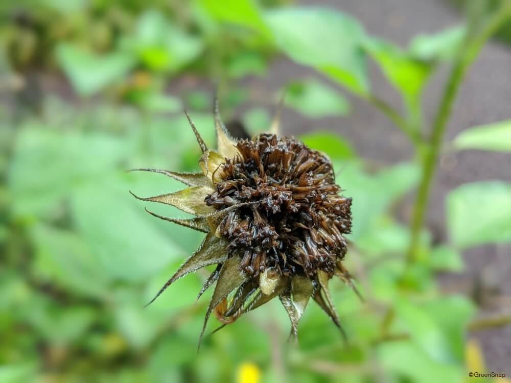 ミニヒマワリ 枯れた 種