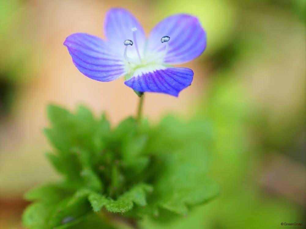 花 言葉 オオイヌノフグリ オオイヌノフグリの花言葉 色別の意味や由来は?英語名や和名とは? 🍀GreenSnap(グリーンスナップ)