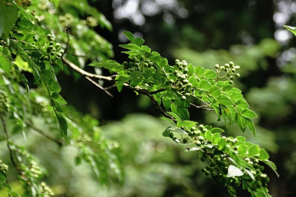 挿し木 山椒
