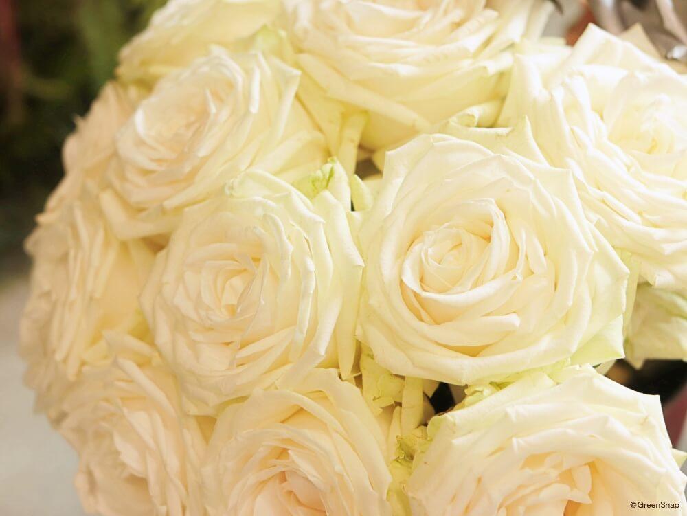バラ 薔薇