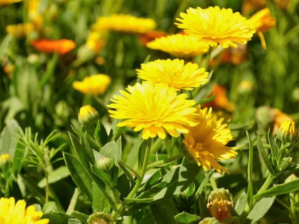 キンセンカ 金盞花 カレンデュラ
