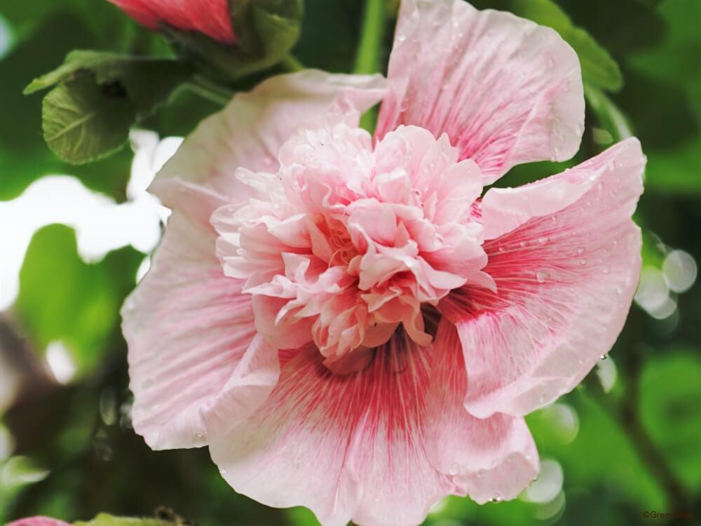 タチアオイ 立葵 ホリック