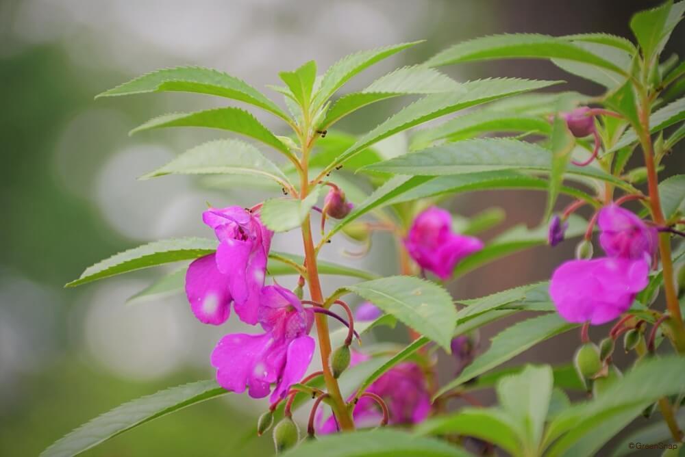ホウセンカ 鳳仙花