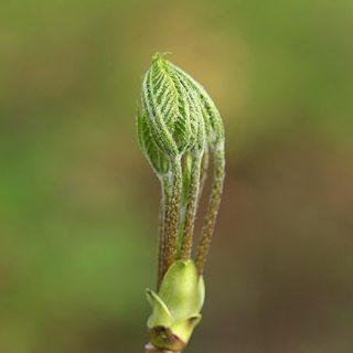コシアブラ 芽