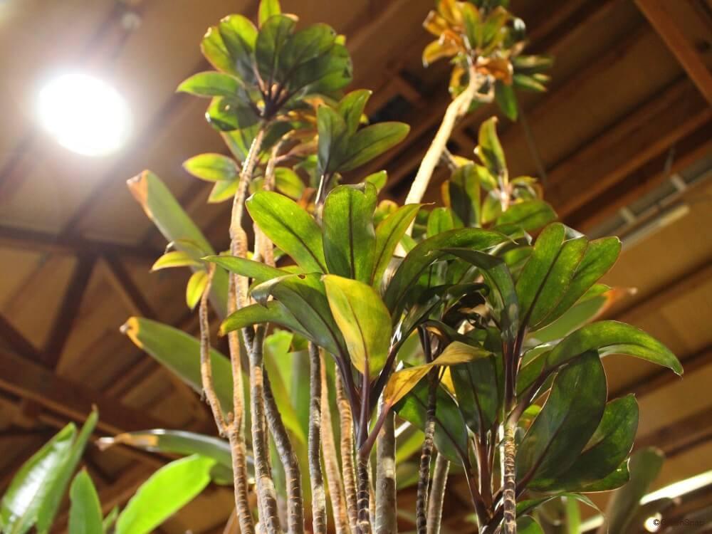 ドラセナ 幸福の木