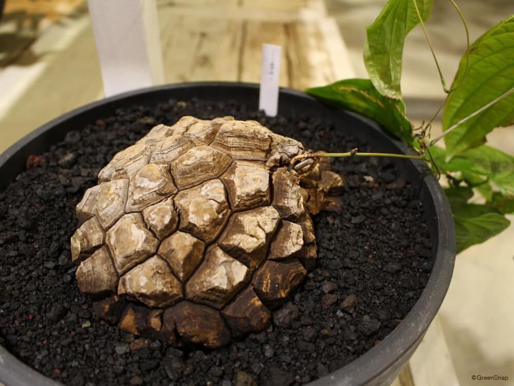 亀甲竜 キッコウリュウ