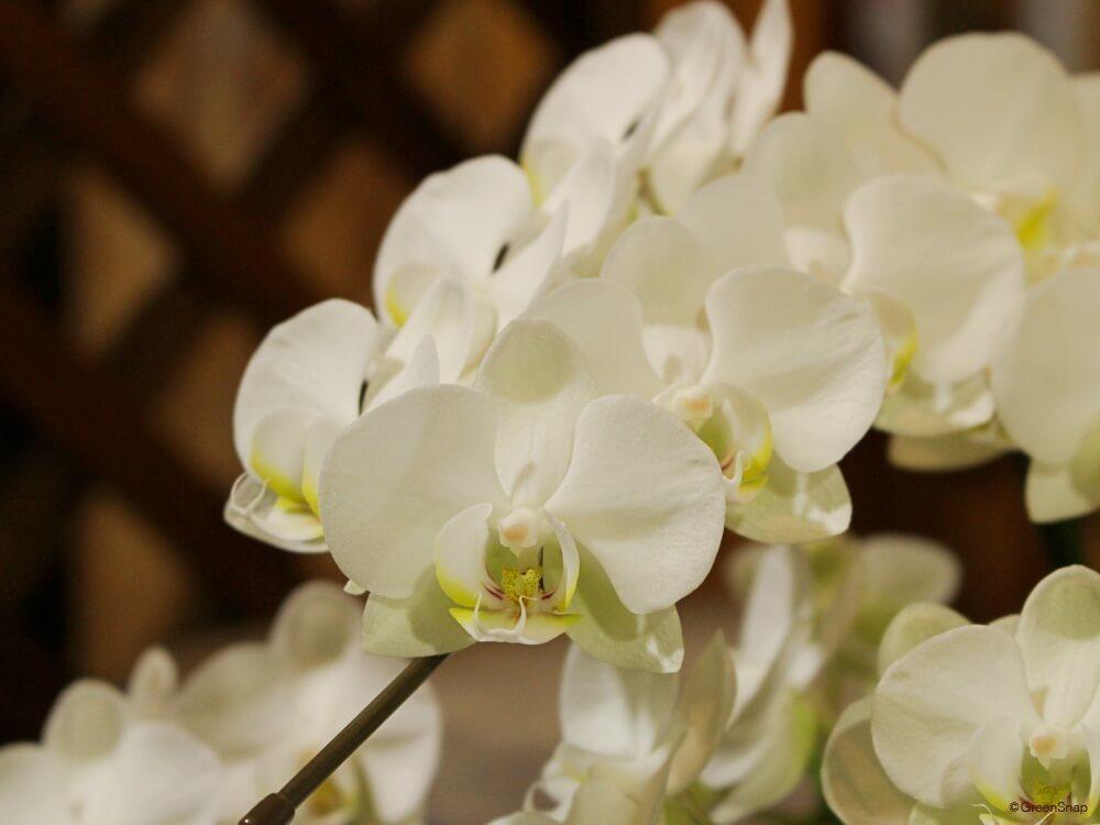 コチョウラン 胡蝶蘭