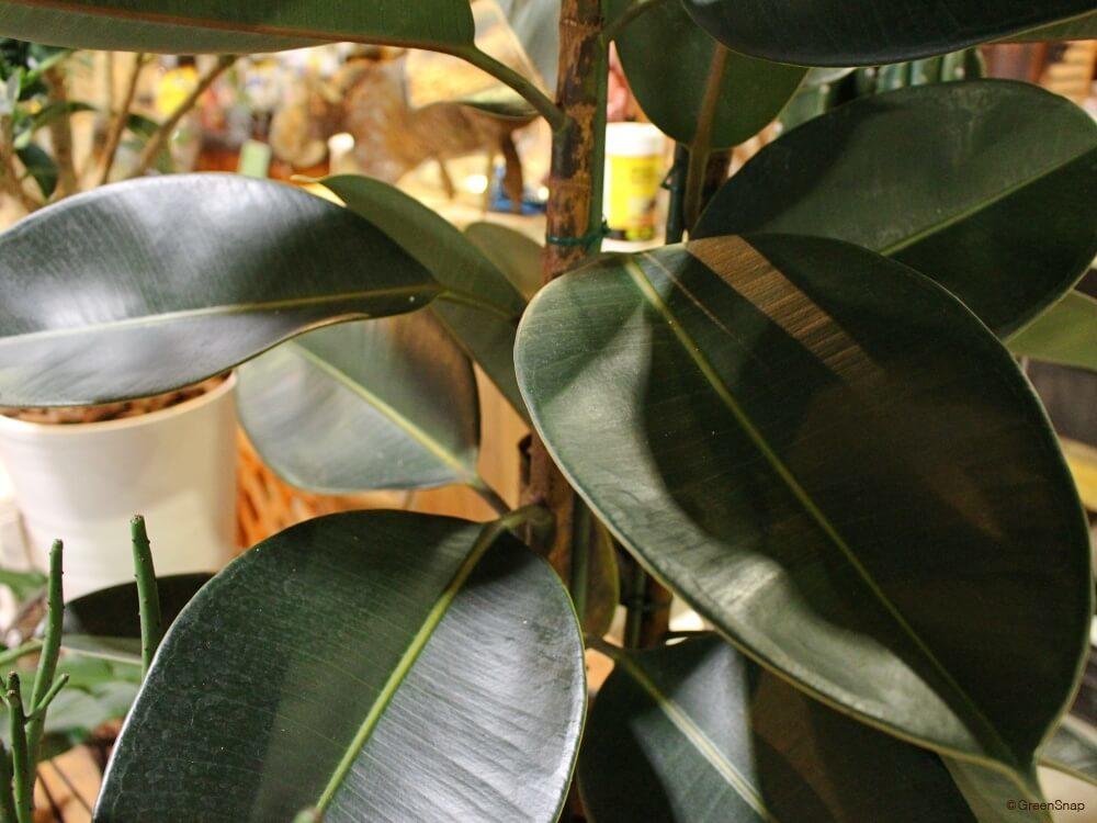 ゴムの木 フィカス バーガンディー