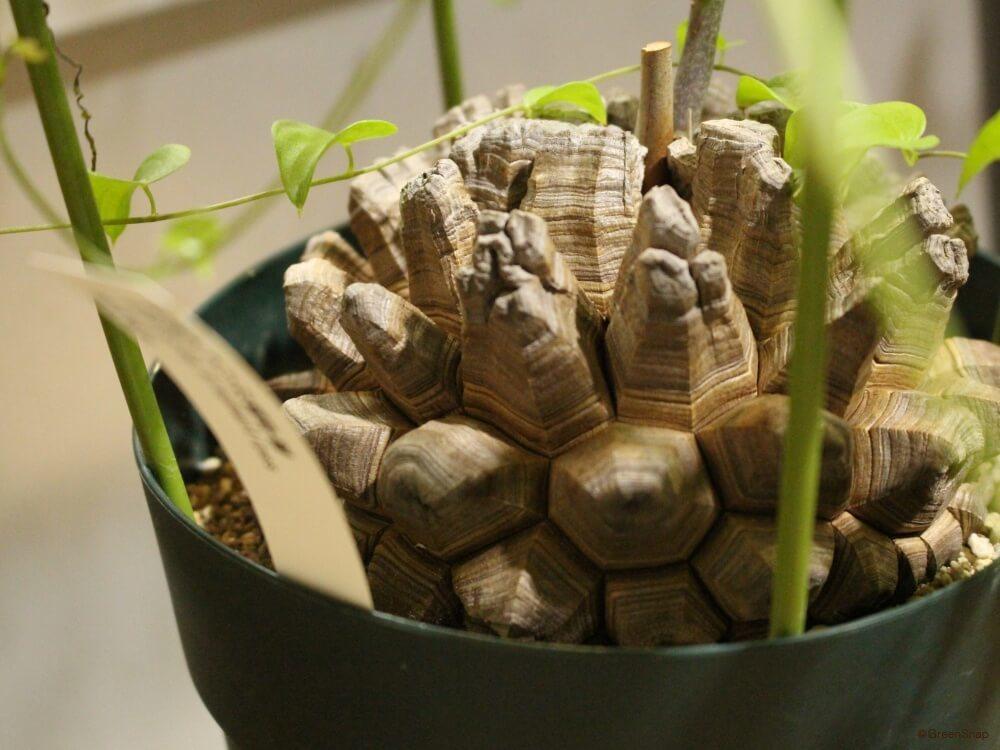 亀甲竜 キッコウリュウ 塊根植物