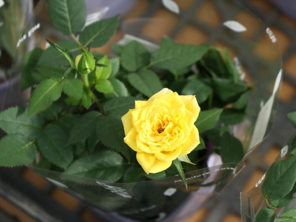 ミニバラ ミニ薔薇 四季咲き