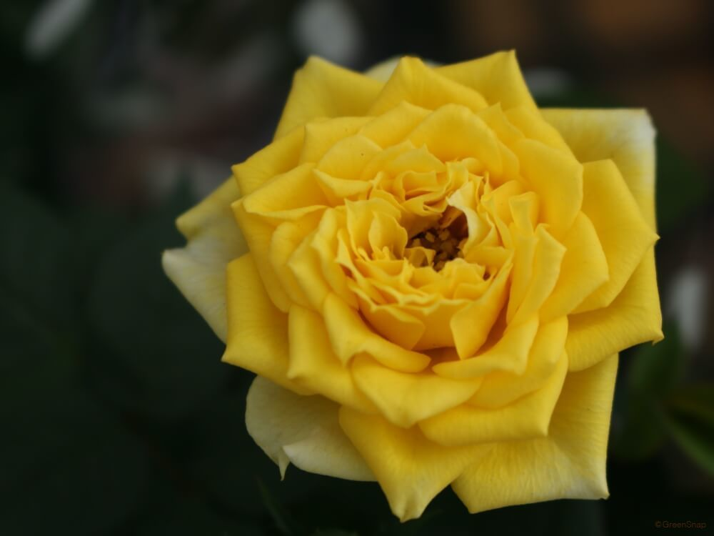 バラ 薔薇 四季咲き
