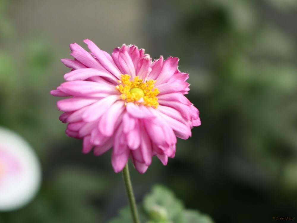 シュウメイギク 秋明菊