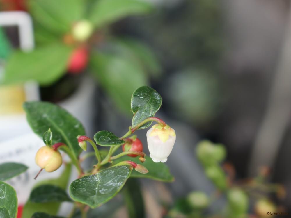 チェッカーベリー 花