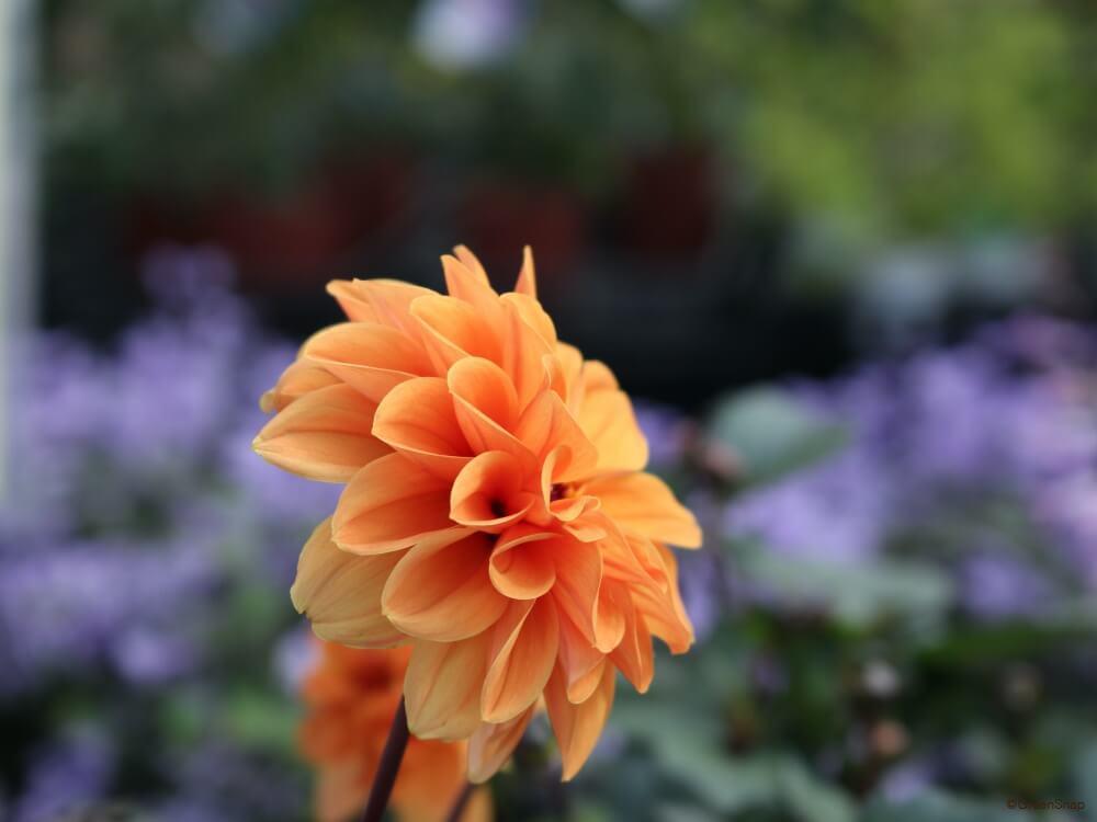 シュウメイギク 秋明菊 セミダブル咲