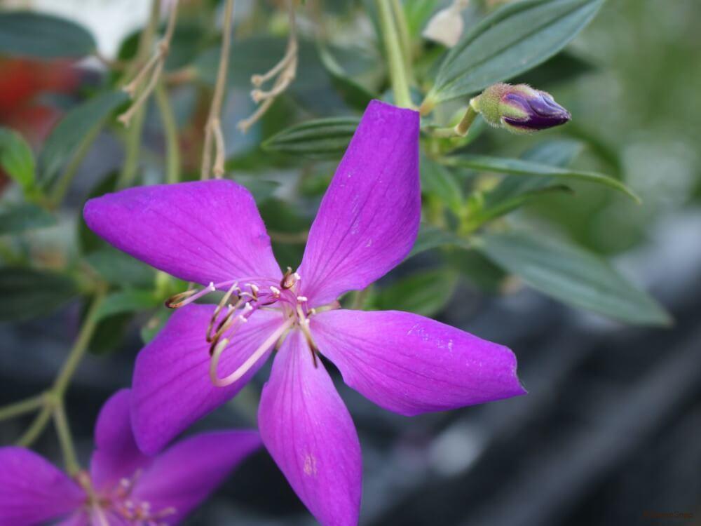 シコンノボタン 紫紺野牡丹