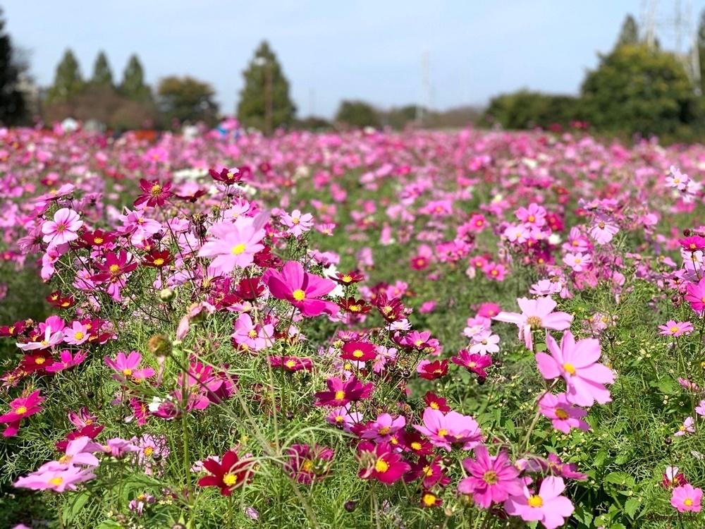 コスモス 秋桜